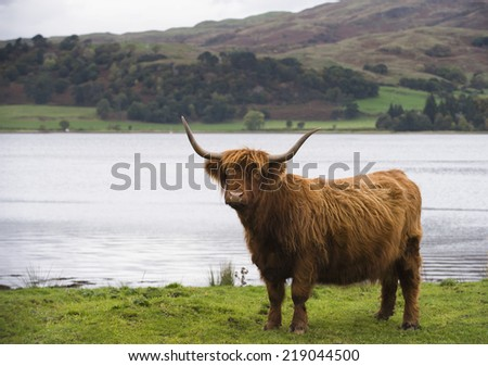Highland Cow on the banks of Loch Etive