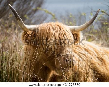Highland Cow on the Isle of Mull, Scotland - stock photo