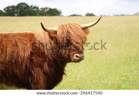 Highland cow standing in a flower meadow in summer - stock photo