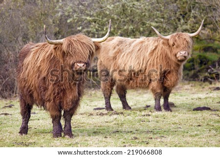 Highland Cows (affectionately known as Shaggy Moos) looking towards the camera. Taken at Kippford, Dumfries and Galloway, Scotland, UK.