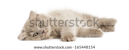 Highland fold kitten lying, looking at the camera, isolated on white - stock photo