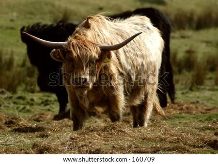 Highland Horns - stock photo