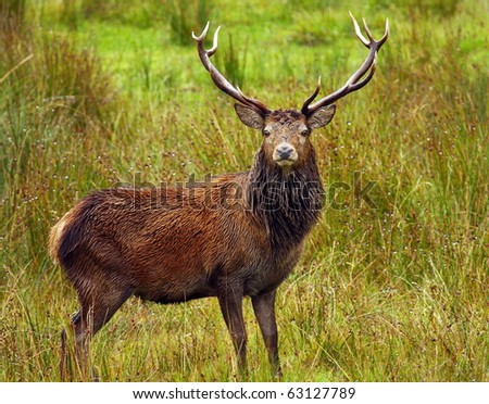 Highland Stag in Autumn. - stock photo