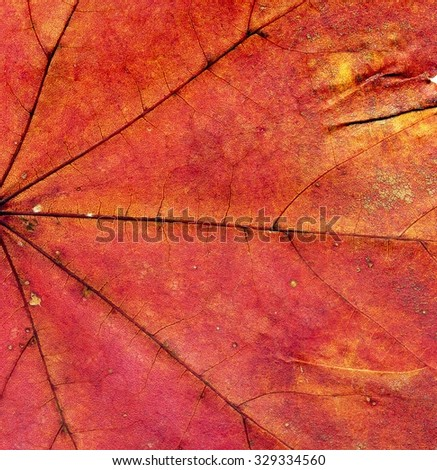 Highly detailed Autumn Maple leaf texture, macro background.