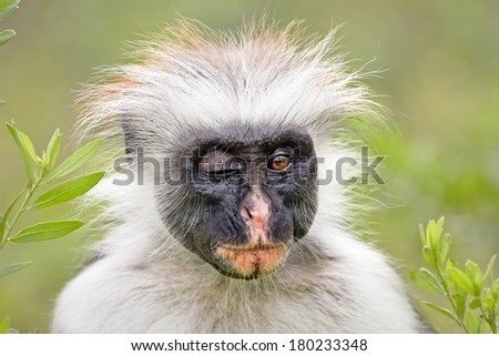 Highly endangered Zanzibar Red Colobus Monkey (Procolobus kirkii) in Jozani Forest on island of Zanzibar (Tanzania, Africa). Winking or blinking at camera. About 1,600 to 3,000 individuals remain. - stock photo
