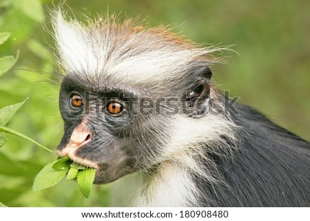 Highly endangered Zanzibar Red Colobus Monkey (Procolobus kirkii) in Jozani Forest on island of Zanzibar (Tanzania, Africa). Close up of feeding on leaves. About 1,600 to 3,000 individuals remain.