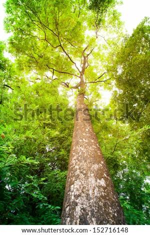 hight tree on thai nation park - stock photo