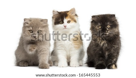 Higland straight and fold kittens sitting in a row, isolated on white