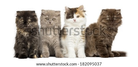 Higland straight and fold kittens sitting in a row, looking at the camera, isolated on white