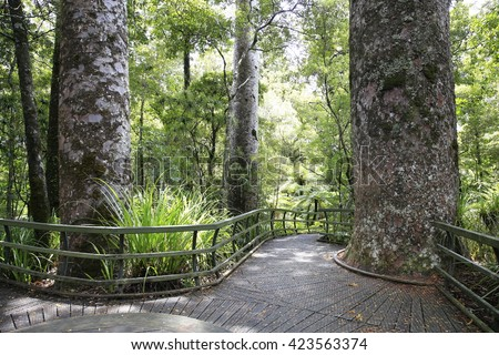 Hike trail through Very tall New Zealand trees forest with lots of moss and greenery. Kauri Forests with giant tree. Puketi Forest - stock photo