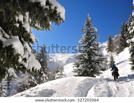 hiker in the mountain among large firs