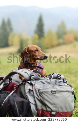 Hiking dachshund resting on a backpack - stock photo