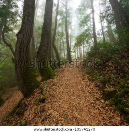 Hiking through the California Redwood Forest on a foggy day - stock photo