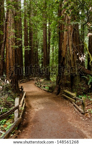 Hiking trail leads through a thick group of coastal redwood trees in Muir Woods National Monument part of Golden Gate International Biosphere Reserve