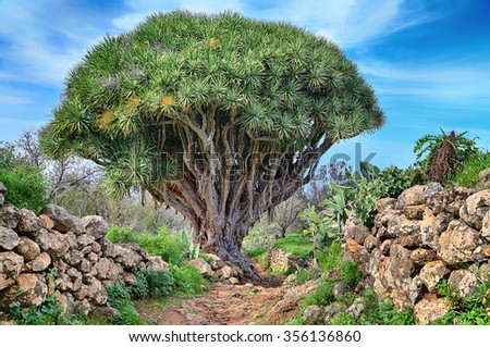 Hiking trail with dragon Tree near Las Tricias (La Palma, Canary Islands) - HDR image - stock photo