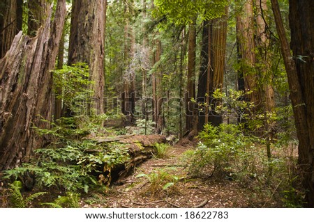 Hiking trails through giant redwoods in Muir forest near San Francisco California - stock photo