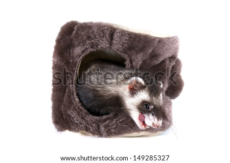 hilarious ferret on an isolated background