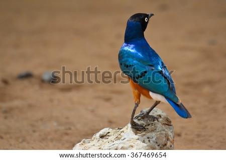 Hildebrandtâ??s Starling (Lamprotornis hildebrandti) - stock photo