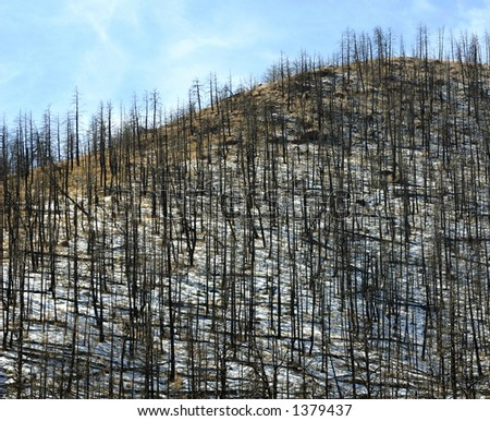 Hill of burned trees - stock photo