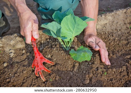 Hilling young seedlings of cabbage in the garden in the spring - stock photo
