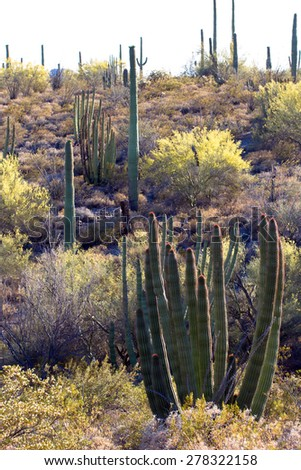 Hillside covered with Organ Pipe, Saguaro and Cholla cacti, Palo Verde trees, and spring flowering shrubs in Organ Pipe Cactus National Monument in southern Arizona - stock photo