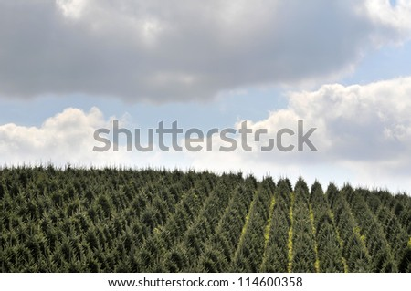 Hillside Full of Christmas Trees with Large Sky Background Horizontal With Copy Space - stock photo