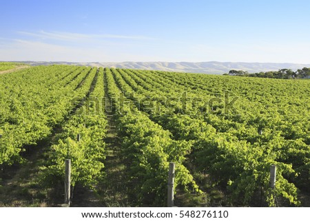 Hillside with rows of grape vines. McLaren Vale, South Australia.