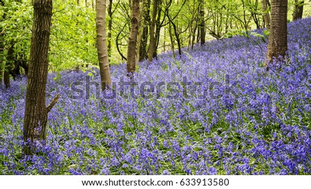 Hillside woodland covered with bluebells