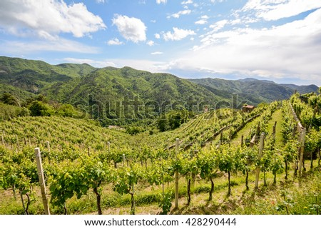 Hilly vineyards in early summer in Italy, Europe - stock photo