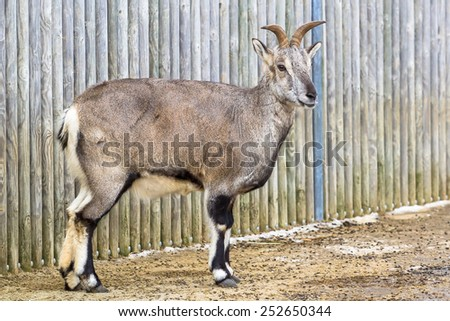 Himalayan blue sheep (bharal) standing by the fence - stock photo