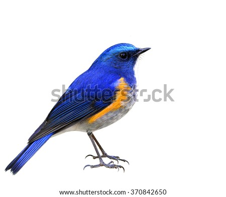Himalayan bluetail or Orange-flanked bush-robin (Tarsiger rufilatus) the beautiful blue bird fully standing showing its side feathers profile isolated on white background - stock photo
