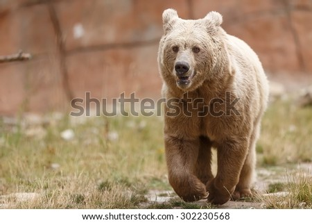 Himalayan brown bear attentive - stock photo