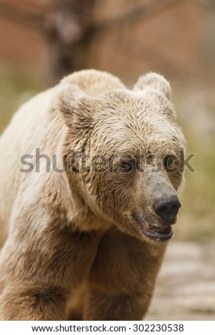 Himalayan brown bear in detail - stock photo