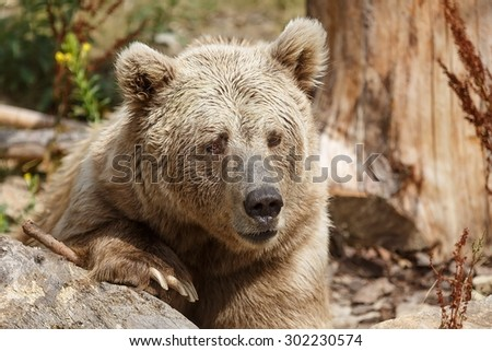 Himalayan brown bear in detail very close up - stock photo