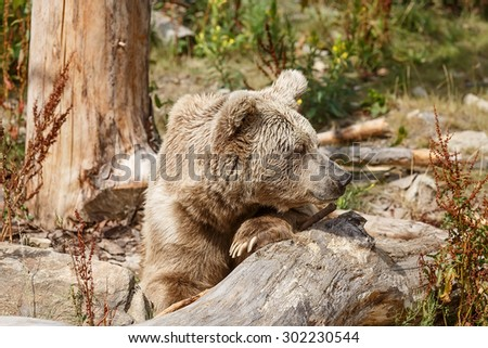 Himalayan brown bear is resting - stock photo