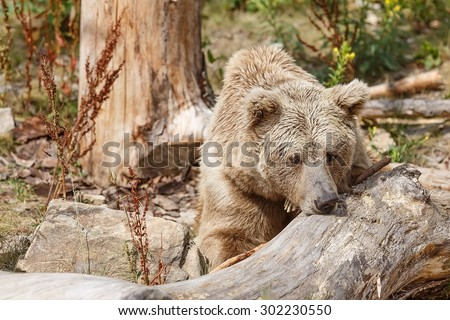 Himalayan brown bear is sad - stock photo