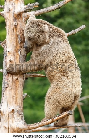 Himalayan Brown Bear on the trunk - stock photo