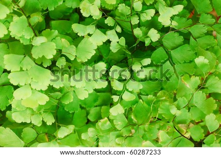 Himalayan maidenhair fern leaves background (selective focus) - stock photo