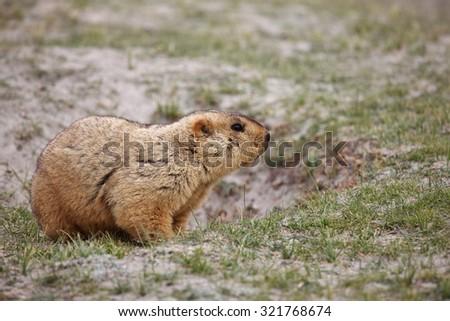 Himalayan marmot - stock photo
