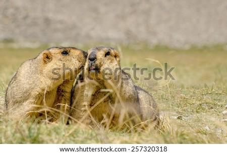 Himalayan marmots (Marmota himalayana), pair kissing in open field , ladakh wildlife, Jammu and Kashmir, India  - stock photo