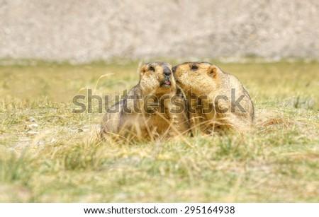 Himalayan marmots - Marmota himalayana, wild mamaals , pair kissing in open field , ladakh wildlife, Jammu and Kashmir, India - stock photo