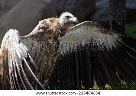 Himalayan vulture (Gyps himalayensis) drying wings after bathing - stock photo