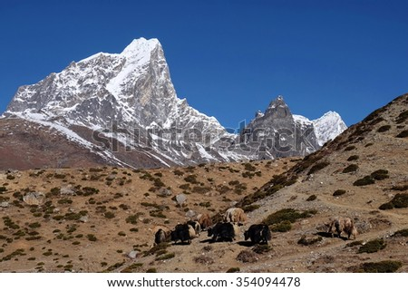 Himalayan Yaks grazing at Dingboche Valley along Everest Base Camp track, with view of Mt Tobuche, Upper Khumbu, Nepal. At 4300 m above sea level, the yaks feed on shrubs, the only vegetation up here. - stock photo