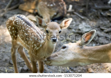 Hind licks her fawn - stock photo