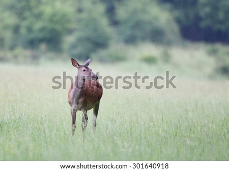 Hind (red deer female) grazing on green meadow with forest in background - stock photo