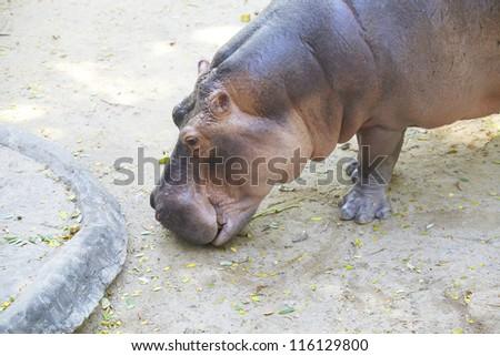 Hippo - stock photo