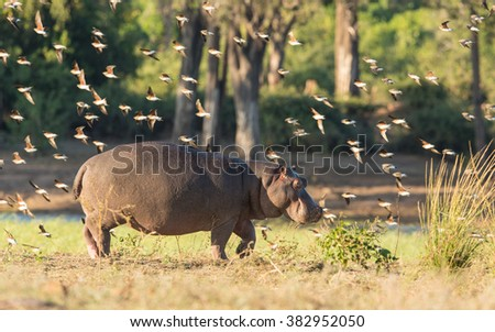 Hippo and collared Pratincoles in the Chobe River in Botswana - stock photo