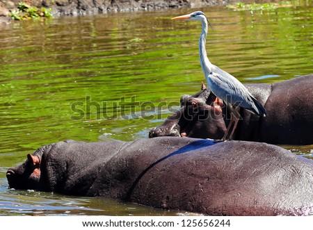 Hippo and Grey Heron - stock photo