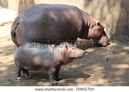 Hippo and her cub - stock photo