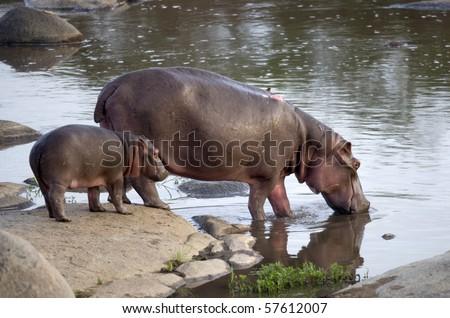 Hippo and her cub, Serengeti, Tanzania, Africa - stock photo